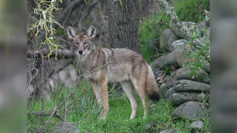 Stuart Goldsby talks about the new license for night hunting of feral swine, coyotes.