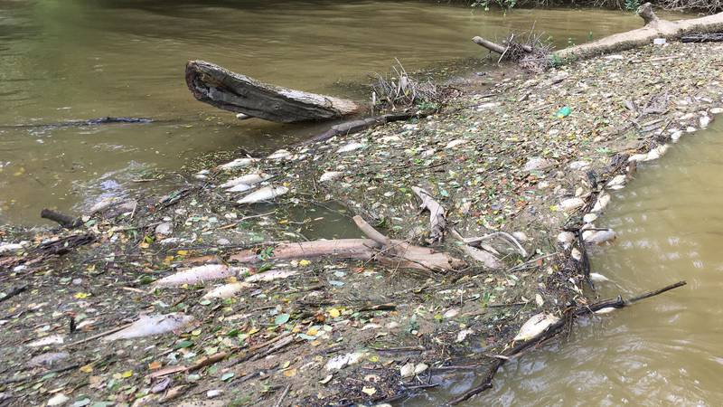Some of the fish killed after spill at Tyson plant in Hanceville, AL. Courtesy: Black Warrior...