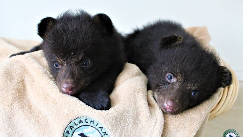 Two six-week old black bears found motherless in Alabama are being taken care of by Appalachian...