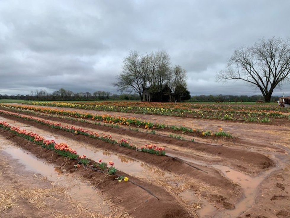 Hubert Family Farms - Changing times and tulips