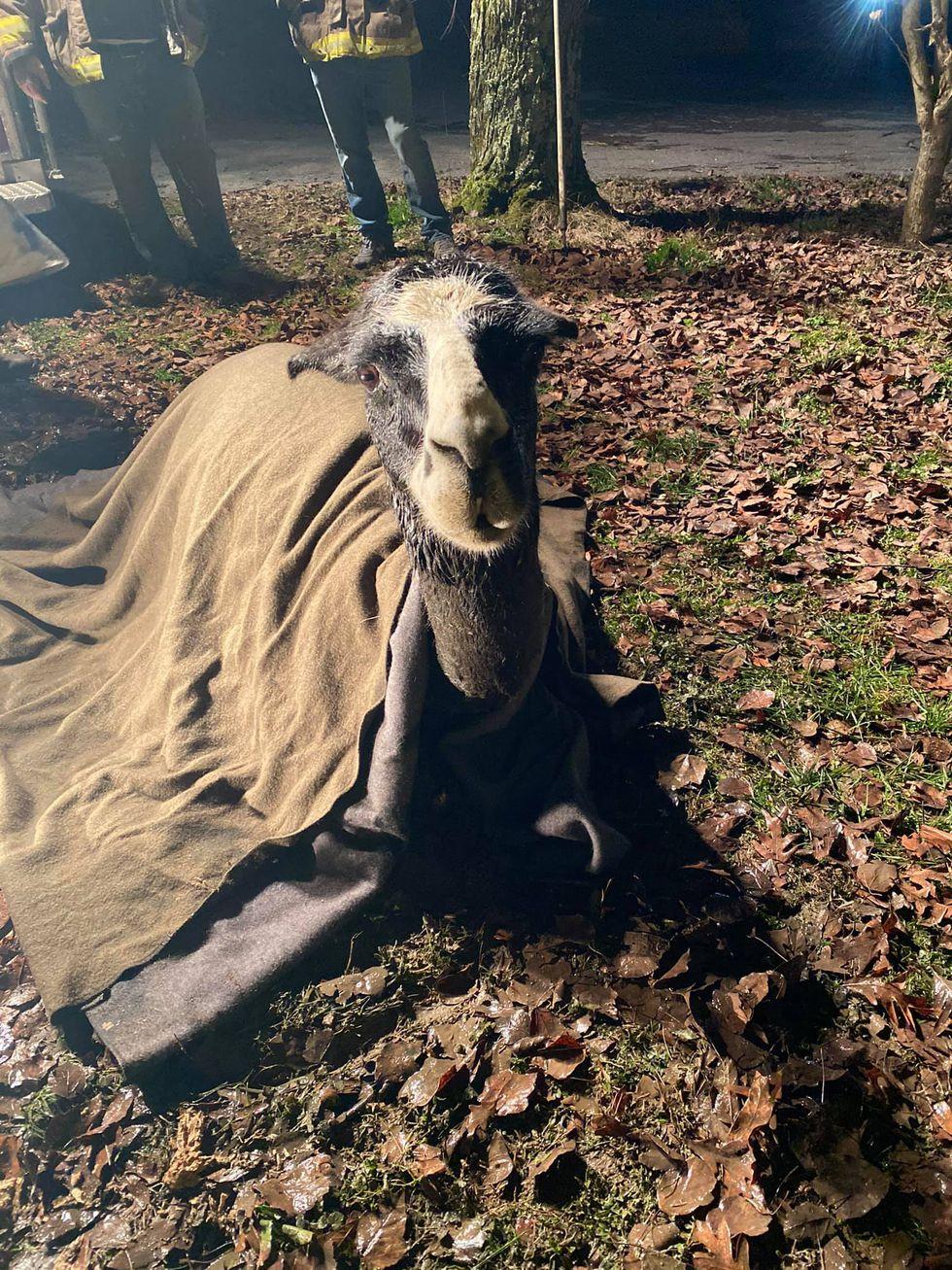 Alex the llama stuck in a septic tank
