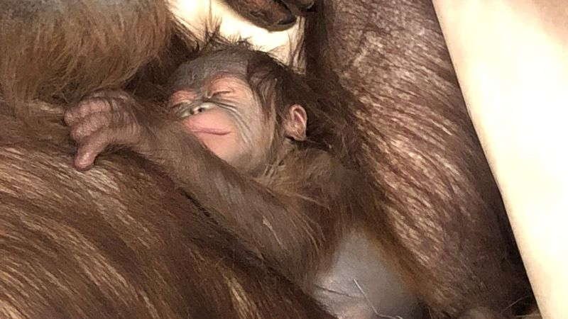 Cleveland Metroparks Zoo's RainForest welcomes first baby orangutan since 2014.